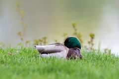 Mallard drake. Mallard (Anas platyrhynchos) male resting in grass with water in the background Royalty Free Stock Photography