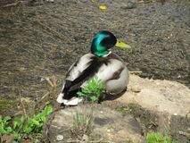 Mallard drake Anas platyrhynchos sits on a bank of a fast river. Male wild duck standing on a ground outside the water. Sunny weather, green head feathers glow royalty free stock photo
