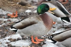 Mallard Duck Drake Anas platyrhynchos. Mallard Drake Anas platyrhynchos standing on a partially ice covered piece of ground Royalty Free Stock Images