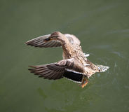 Mallard. Drake (Anas platyrhynchos), stretching wings Stock Images