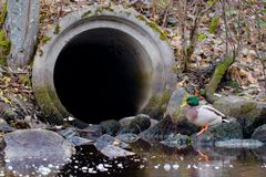 Mallard drake in front of a drain pipe. Mallard drake balancing on a rock in front of a large concrete drain pipe Stock Images