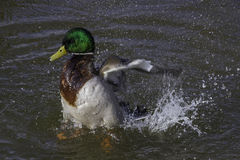 Mallard drake. Bathing in a river Stock Images