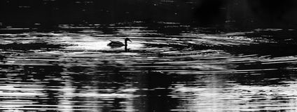 Mallard Drake Black and White on Lake. Black and white photo of a Mallard duck Anas platyrbynchos swimming in a lake Stock Photography