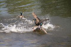 A mallard drake chasing another royalty free stock photography