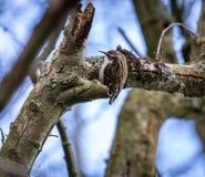 elusive treecreeper Royalty Free Stock Photography