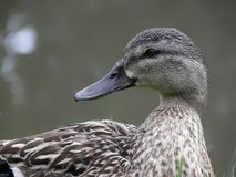 Mallard drake. Mallard drake, duck beauty bird Royalty Free Stock Photo