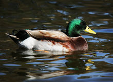 Mallard Drake Duck. A mallard drake duck enjoys the afternoon in a freshwater pond Stock Image