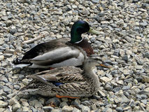 Mallard Drake and Duck Royalty Free Stock Photo
