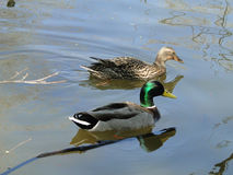Mallard Drake and Duck. A Mallard Drake and Duck swim in a city pond Royalty Free Stock Photography