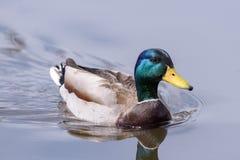 Mallard Drake Duck Swimming in uno stagno immagine stock