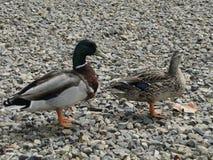 Mallard Drake and Duck Stock Photo