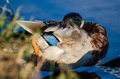 Mallard Drake Eclipse Molt Preening Royalty Free Stock Images