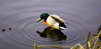 Mallard Drake. Enjoying and says Hi Royalty Free Stock Photos