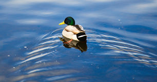 Mallard Drake. Enjoys the Swim Stock Photo
