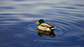 Mallard Drake. Enjoys the Swim Stock Photos