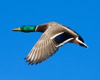 Mallard drake in flight Royalty Free Stock Photo