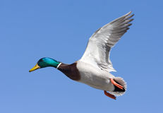 Mallard drake. In flight against a blue winter sky Stock Image