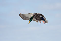 Mallard drake in flight. Against a blue winter sky Stock Photos
