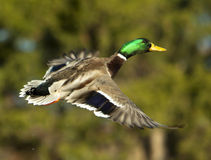 Mallard Drake In Flight On Blurred Green. A mallard duck in flight with blue water in the background Stock Images