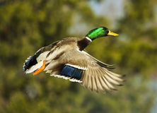 Mallard Drake In Flight On Blurred Green. A mallard duck in flight with trees in the background Stock Photos