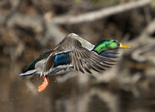 Mallard Drake In Flight On Blurred Wooded Background. A mallard duck in flight with blurred trees in the background Stock Photography