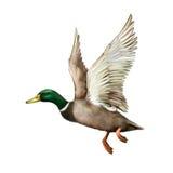 Mallard Drake In Flight. Isolated on white background Stock Photos