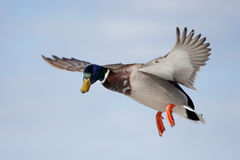Mallard drake in flight. Over the Ottawa river Stock Photo