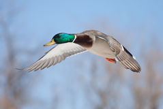 Mallard drake in flight  Stock Images