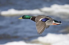 Mallard drake in flight over the Ottawa river. Mallard - Anas platyrhynchos drake in flight over the Ottawa river Royalty Free Stock Photo