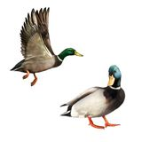 Mallard Drake In Flight and standing. illustration isolated on white background Stock Images