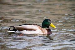 Mallard Drake. Floating on the water, turning towards the camera Stock Photography