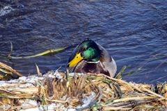 Mallard Drake floats in cold water. Anas platyrhynchos Royalty Free Stock Image