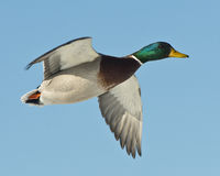 Mallard Drake. A drake Mallard flying against a clear blue sky Royalty Free Stock Image