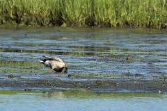 Mallard drake foraging. Drake mallard foraging on mudflat to search out edible plants Stock Images