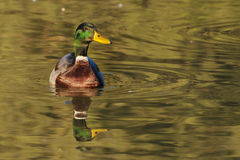 Mallard drake in golden reflections - front view. Mallard (Anas platyrhynchos) drake (male) swimming among reflections of a golden sunset - front view Royalty Free Stock Photography
