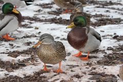 Mallard Drake & Hen Anas platyrhynchos. Drake and Hen Mallards Anas platyrhynchos standing on land covered with patches of ice Royalty Free Stock Photos