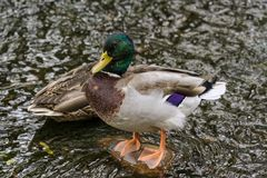 Mallard Drake Standing On A Rock In A Stream. Mallard Drake and Hen guard their spot in in a small stream Royalty Free Stock Photo