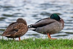 Mallard Drake and Hen. Sleeping next to the pond at the park in the summer royalty free stock photography