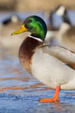 Mallard Drake On Ice Royalty Free Stock Photography