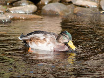 Mallard Drake. Juvenile Mallard drake swimmin in shallow water Stock Photography