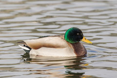 Mallard Drake on Lake Stock Photos