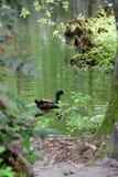 Mallard Drake. Male Mallard Duck swimming near the banks of the lake at Swan Lake and Iris Gardens in Sumter, SC in Spring Stock Images