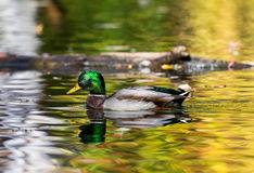 Mallard drake. Male Mallard swimming in a pond in northern Quebec with fall leaves and colors alighting the pond Royalty Free Stock Image