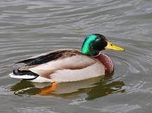 Free Mallard Drake On A Pond Royalty Free Stock Photography - 13439277