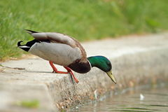 Mallard drake preparing to jump Royalty Free Stock Images