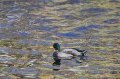 Mallard Drake on reflective pond Royalty Free Stock Photo