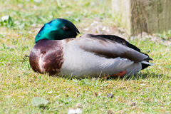Mallard Drake. Resting on grass Royalty Free Stock Photos