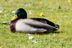 Mallard Drake. Resting on grass Royalty Free Stock Photography