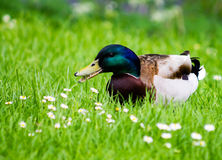 Mallard Drake. Standing on grass and eating food from the vegetation Royalty Free Stock Image
