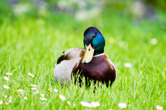 Mallard Drake. Standing on grass in meadows Royalty Free Stock Photography